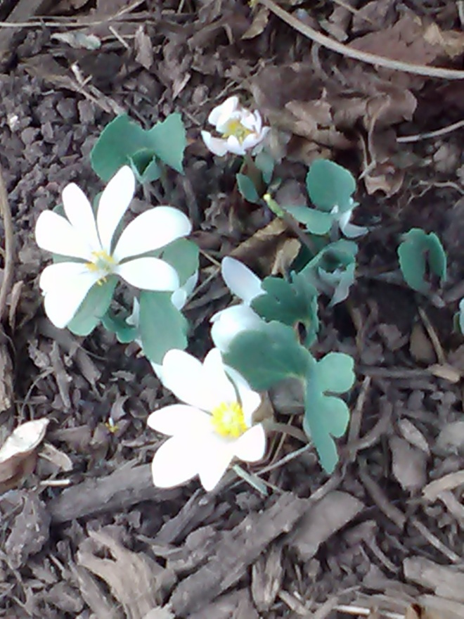 Blood root @ Magic Touch & Her Gardens