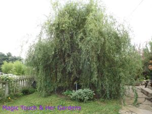 Corkscrew Willow