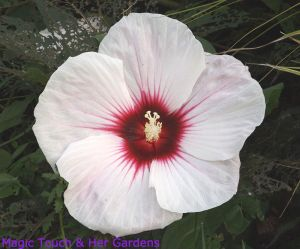 Dinner-plate Hibiscus