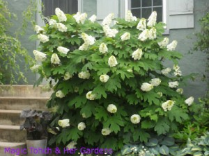 Oak Leaf Hydrangea full bloom
