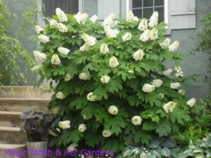 Oak Leaf Hydrangea full bloom