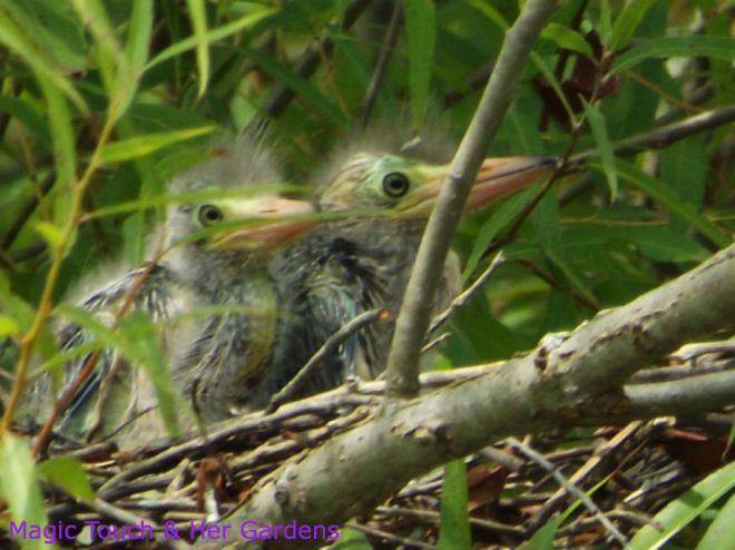 Blue Heron Baby