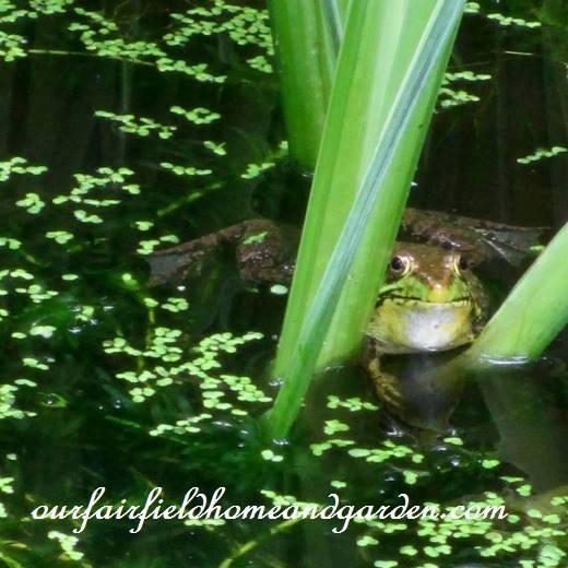 bullfrog:duckweed