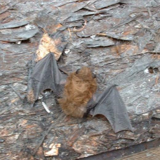 Jacki's Little Brown Bat