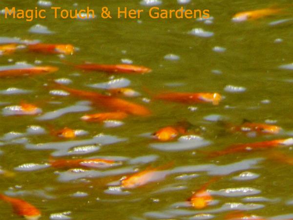 Red comet goldfish - photo#14
