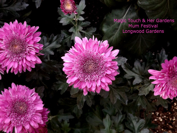Bright Pink Mums @ Longwood Gardens