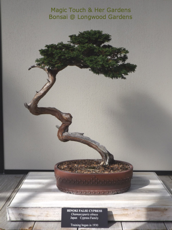 Hinoki False Cypress