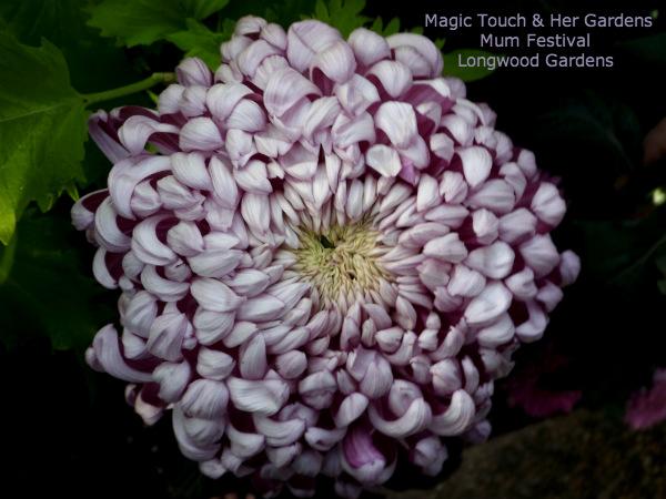 Lavender Mum @ Longwood Gardens