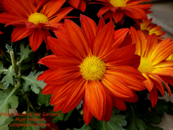 Orange Daisy Mum @ Longwood Gardens
