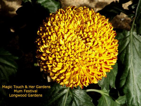 Pom-pom Mum @ Longwood Gardens