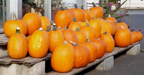 Pumpkins at Ott's