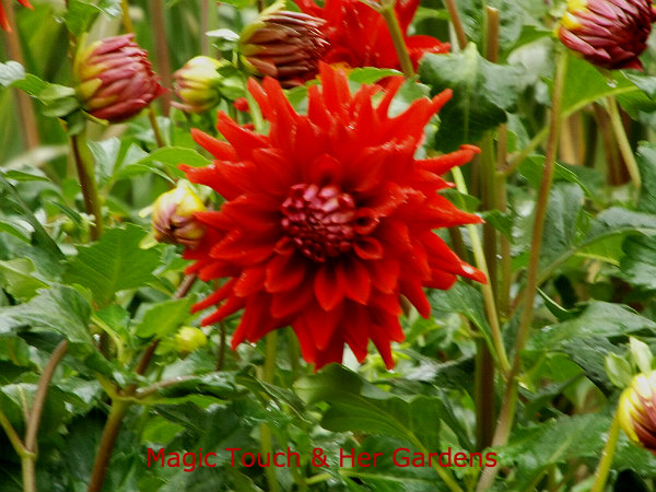 Red Dahlia at Longwood Gardens