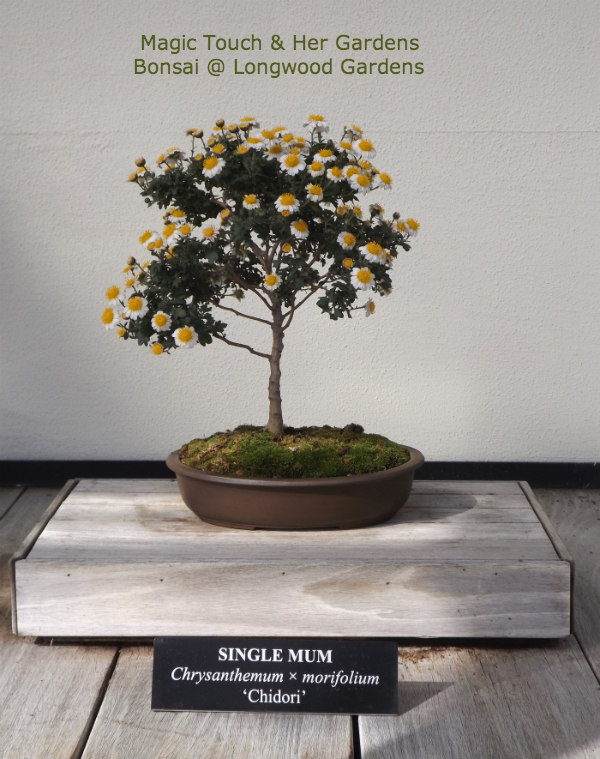 Single Mum Bonsai