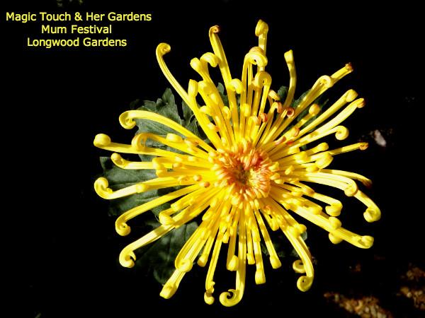 Spider Mum @ Longwood Gardens