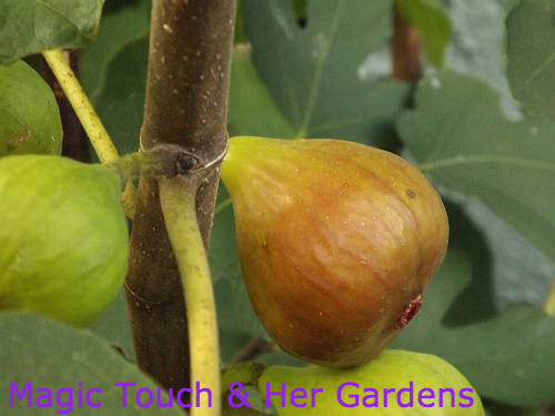 Magic Touch & Her Fig Tree, From the different varities, recipes and overwintering...Lots of info on Fig Trees in your Garden...