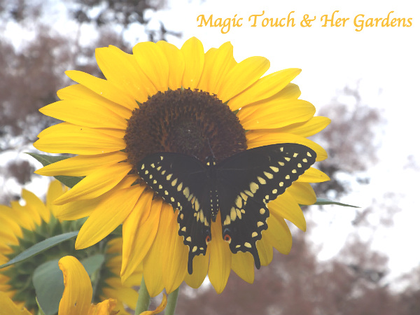 Black Swallowtail, Magic Touch & Her Gardens
