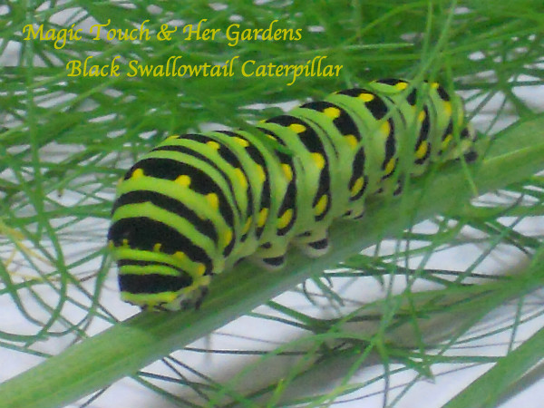 Blk Swallowtail Caterpillar Magic Touch & Her Gardens