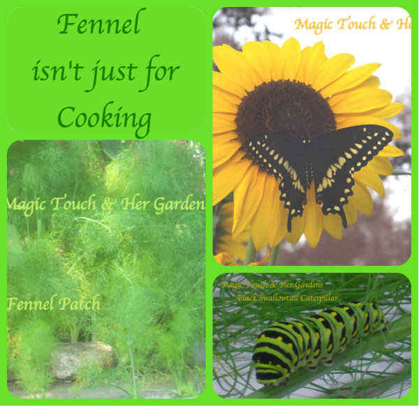 Fennel isn't just for cooking Magic Touch & Her Gardens