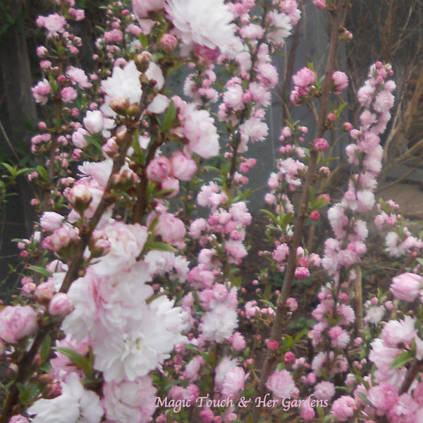 Flowering Almond @ Magic Touch & Her Gardens