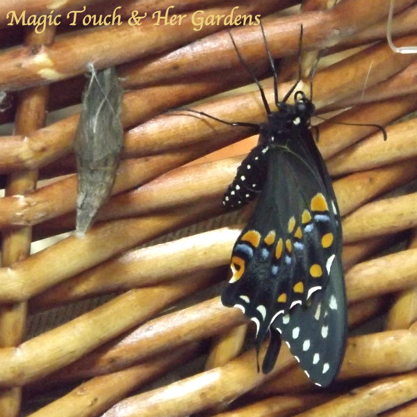 Magic Touch & Her Gardens, Blk Swallowtail.