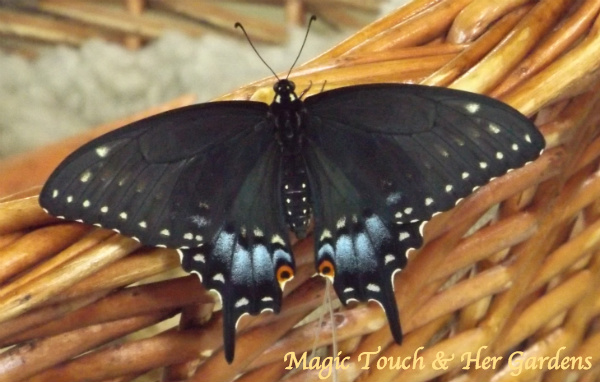 Magic Touch & Her Gardens, Blk Swallowtail..