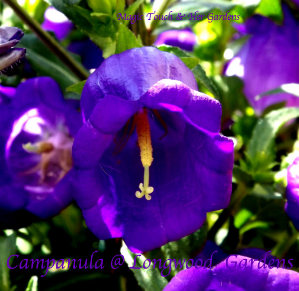 Purple: The Colors of the Rainbow. Magic Touch & Her Gardens Campanula