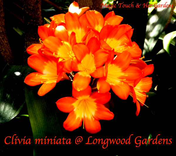 Orange: The Colors of the Rainbow. Magic Touch & Her Gardens Clivia miniata Orange Magic Touch & Her Gardens