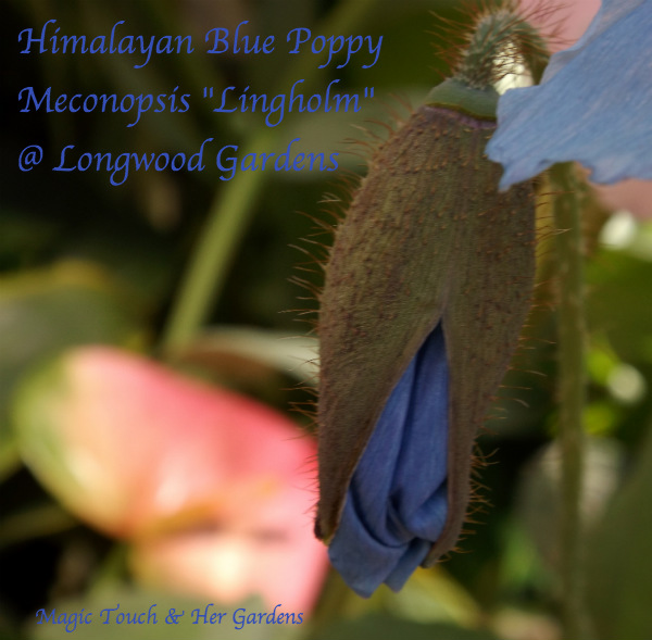 Blue: The Colors of the Rainbow. Magic Touch & Her Gardens Himalayan Blue Poppy Meconopsis Lingholm