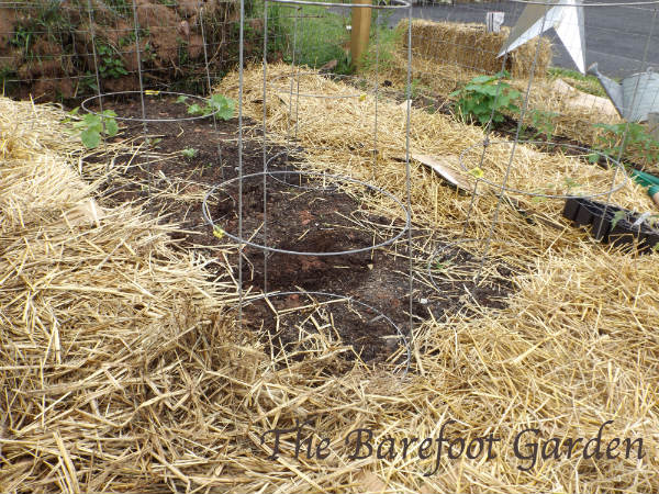 Planting Tomatoes Barefoot Style. The Barefoot Garden