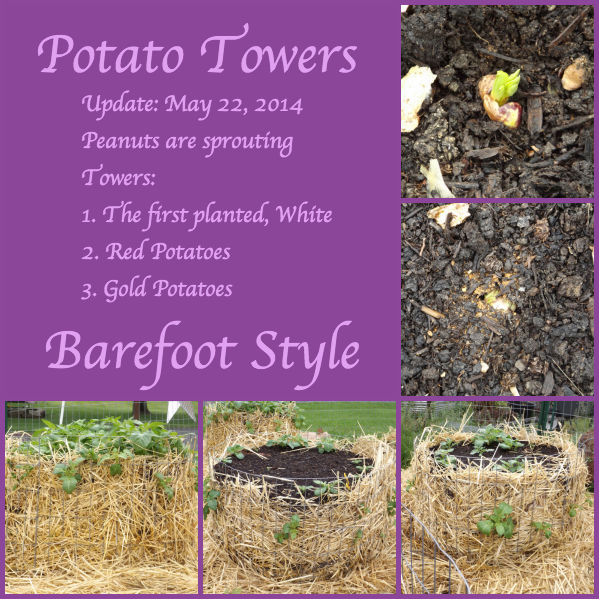 Potatoe Tower Update The Barefoot Garden