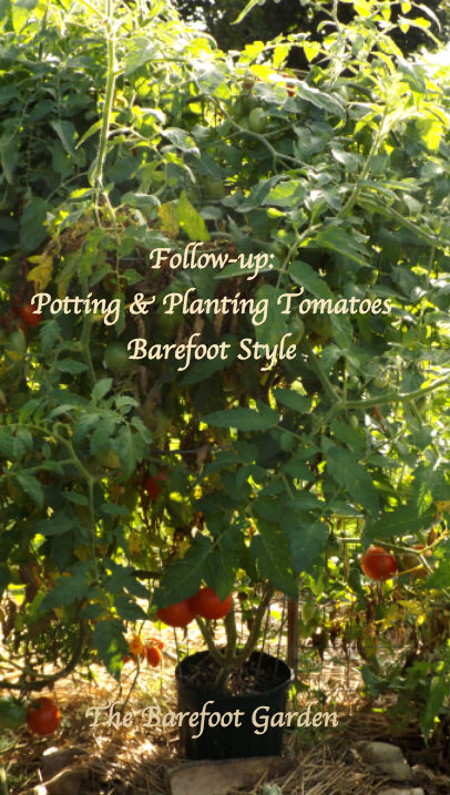 Potting and Planting Tomatoes The Barefoot Garden