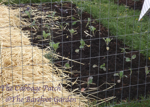 The Cabbage Patch The Barefoot Garden