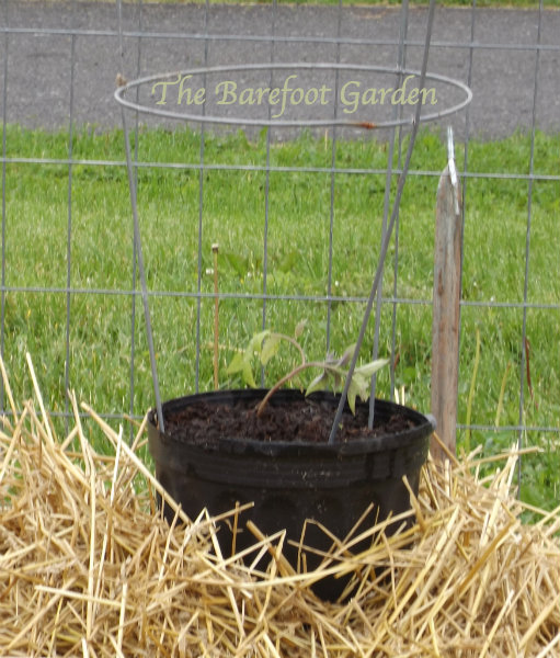 Check out my post Container Gardening, Barefoot Style
