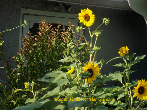 Surrounded by Sunshine & Sunflowers over @ Magic Touch & Her Gardens