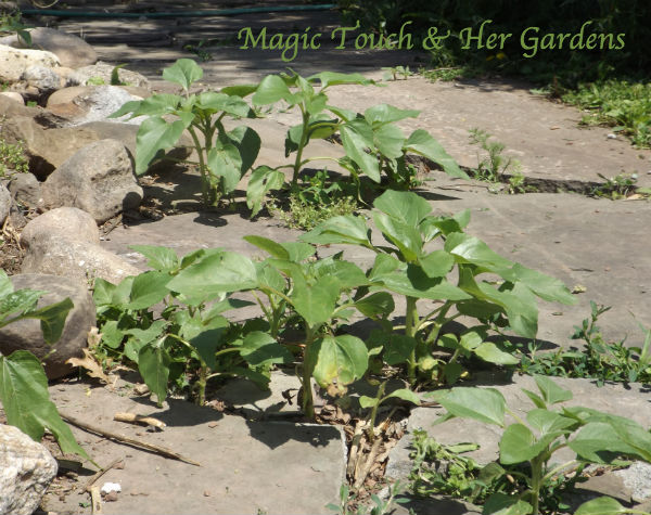 Container Gardening, Barefoot Style...What to do with Sunflowers thet sprout in the oddest places...