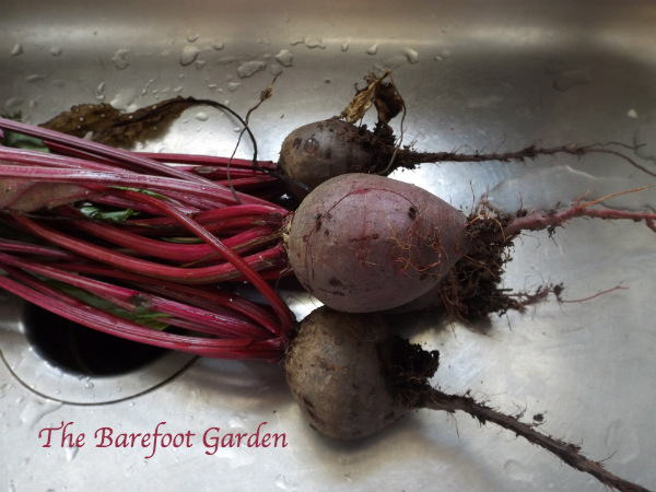 Roasting Beets: Barefoot Style: The Barefoot Garden